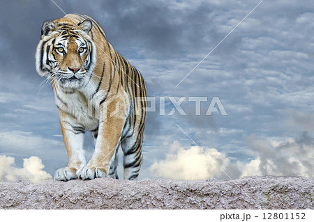 Siberian tiger ready to attack looking at youの写真素材 [12801152] - PIXTA