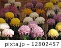菊花 秋 菊の写真 12802457