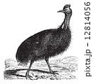 Casuarius galeatus or cassowary vintage engraving 12814056
