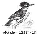 かわせみ カワセミ 川蝉のイラスト 12814415