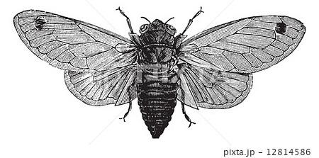 Seventeen-Year Cicada or Magicicada cassini or Magicicada septen 12814586