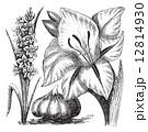 Gladiolus or sword lily vintage engraving 12814930