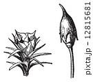 Male flower. Female flower. Polytrichum or haircap moss, vintage 12815681