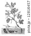 彫り物 彫物 ピーナッツのイラスト 12816457