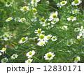 カモミール1 12830171