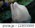 シロイルカ ベルーガ シロクジラの写真 12833900