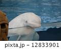 シロイルカ ベルーガ シロクジラの写真 12833901