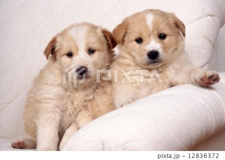 かわいい子犬 12836372