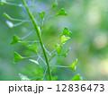 ペンペン草 12836473