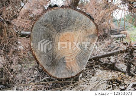 「マツ枯れ」の被害7(青変菌により青く変色した幹の切り口)(右左寄せNo.13658956,7あり) 12853072