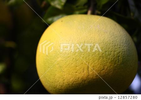 【晩白柚】の写真素材 [12857280] - PIXTA