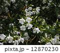キョウチクトウ 夾竹桃 花の写真 12870230