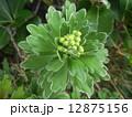 検見川浜に海岸植物のイソギクが黄色い花を咲かせす 12875156