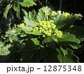 検見川浜に海岸植物のイソギクが黄色い花を咲かせす 12875348