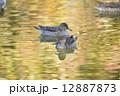 鴨 オナガガモ 野鳥の写真 12887873