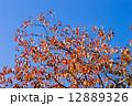 南京はぜ 枯葉 紅葉の写真 12889326