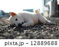 白い子犬 12889688