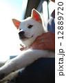 白い子犬 12889720