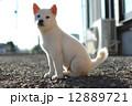 白い子犬 12889721