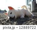 白い子犬 12889722