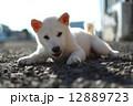白い子犬 12889723