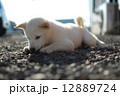 白い子犬 12889724