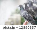 鳩 12890357