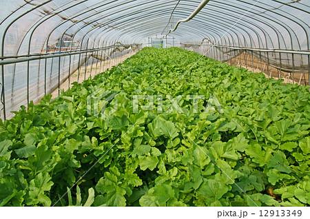 大根のハウス栽培 12913349