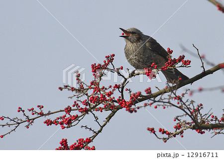 赤い実を食べる鳥 12916711
