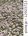 三豊市の市の花に選定されたマーガレット(香川県三豊市荘内半島、フラワーパーク浦島) 12923723