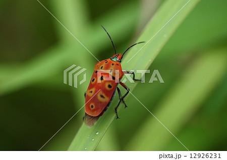 生き物 昆虫 アカギカメムシ、最大級の大きさの美しいカメムシです。色彩の変化は大きいそうです 12926231