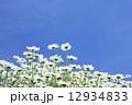 草花 花 マーガレットの写真 12934833