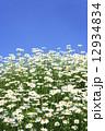 草花 マーガレット 花の写真 12934834