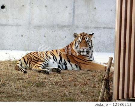 天王寺動物園のトラの写真素材 [12936212] - PIXTA