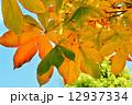 トチノキの紅葉 12937334