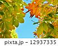 トチノキの紅葉 12937335