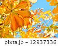 トチノキの紅葉 12937336