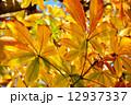 トチノキの紅葉 12937337