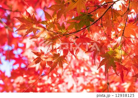 美しき紅葉 12938125