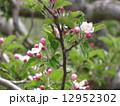 リンゴの花 12952302