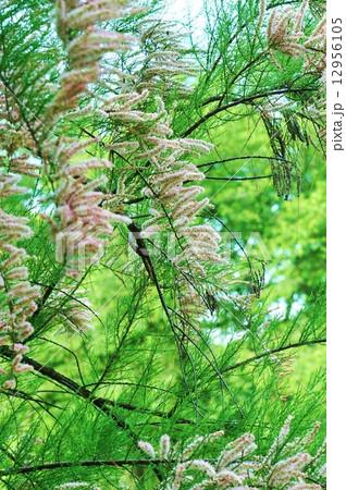 初夏の樹花・楊貴妃が愛したというギョリュウの花・縦位置 12956105