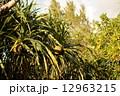 アダン 亜熱帯 実の写真 12963215