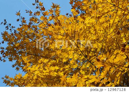 黄色い紅葉 12967128