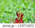 トンボ 曼珠沙華 蜻蛉の写真 12971652
