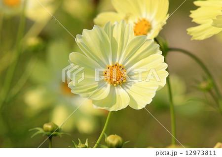レモン色のコスモスの花キャンパスイエロー 12973811