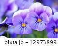 三色スミレ ビオラ 花の写真 12973899