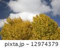イチョウ 銀杏 秋の写真 12974379