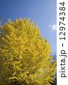 イチョウ 銀杏 秋の写真 12974384