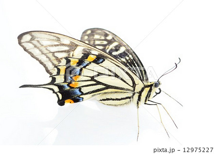 アゲハ蝶の美しい羽根 白バック 12975227