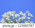 マーガレット 花 満開の写真 12980787